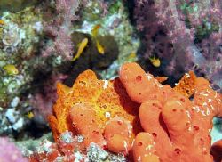 Frogfish with a colorful background (instead of the black... by Nikki Van Veelen